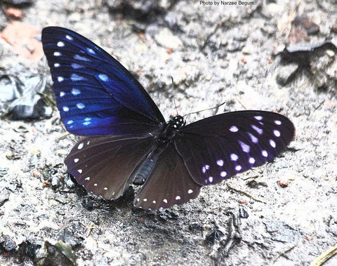 Papilio paradoxa great blue mime butterfly