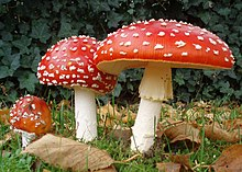 red and white spotted toadstool mushrooms