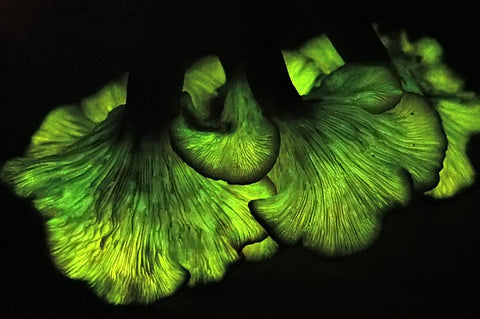 glowing jack o' lantern mushrooms