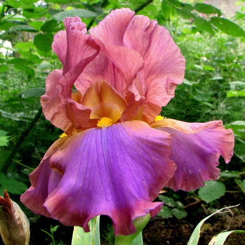 Garden picture of unnamed iris with burgundy standards and purple fall petals