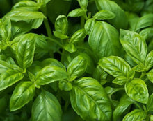 Load image into Gallery viewer, Basil Leaf - Ocimum basilicum L.