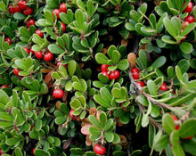 Load image into Gallery viewer, Uva Ursi (Bearberry) Leaf - Arctostaphylos Uva Ursi L.