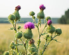 Load image into Gallery viewer, Cardo Santo (Blessed Thistle) - Carduus Benedictus