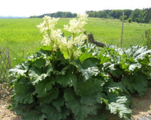 Load image into Gallery viewer, European Rhubarb - Rheum Rhaponticum L.
