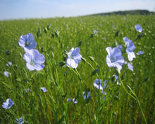 Load image into Gallery viewer, Flax Seeds - Linum usitatissimum L.