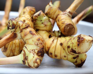 Galangal Root - Alpinia officinarum Hance