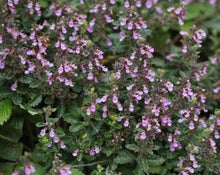 Load image into Gallery viewer, Germander Tea - Teucrium Chamaedrys L.