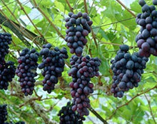 Load image into Gallery viewer, Grape Seeds Extract - Vitis Vinifera L.