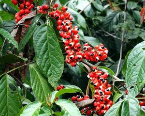 Guarana Seeds - Paullinia cupana Kunth