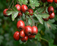 Load image into Gallery viewer, Hawthorne Berries - Crataegus Oxyacantha L.