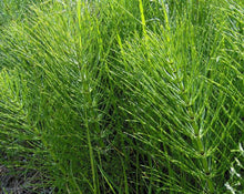 Load image into Gallery viewer, Horsetail Tea - Equisetum arvense L.