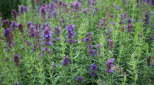 Load image into Gallery viewer, Hyssop Tea - Hyssopus officinalis L.