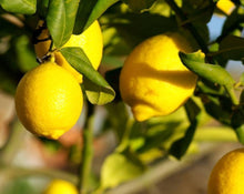 Load image into Gallery viewer, Lemon Peel Tea - Citrus Limon