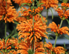 Load image into Gallery viewer, Lion's Ear (Klip Dagga) - Leonotis Nepetafolia