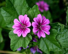 Load image into Gallery viewer, Common Mallow (Malva) Flower - Malva Sylvestris L.