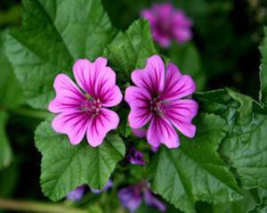 Common Mallow (Malva) Flower - Malva Sylvestris L.