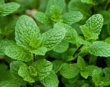 Load image into Gallery viewer, Mint Leaf - Mentha piperita L.