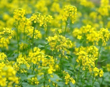 Load image into Gallery viewer, Mustard Seed Brown - Brassica Juncea L.