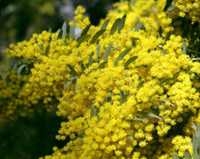 Load image into Gallery viewer, Arnica (Goldenrod) Tea - Solidago microglossa
