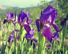 Load image into Gallery viewer, Orris Root - Iris Florentina L.
