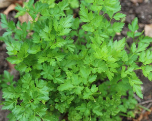 Parsley Root - Petroselinum Sativum