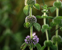 Load image into Gallery viewer, Pennyroyal Tea - Mentha Pulegium L.