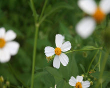 Load image into Gallery viewer, Picao - Bidens pilosa L.