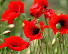 Load image into Gallery viewer, Poppy Seeds - Papaver rhoeas L.
