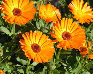 Pot Marigold - Calendula Officinalis L.