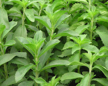 Load image into Gallery viewer, Stevia Leaf - Stevia Rebaudiana Bertoni