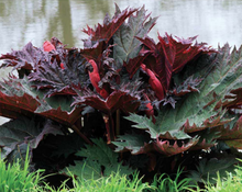 Load image into Gallery viewer, Turkey Rhubarb - Rheum palmatum