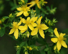Load image into Gallery viewer, Hiperico (St. John's Wort) - Hypericum Perforatum