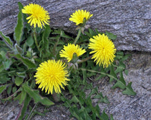 Load image into Gallery viewer, Dandelion Root - Taraxacum officinale