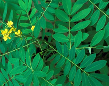 Load image into Gallery viewer, Senna Tea - Cassia angustifolia Vahl