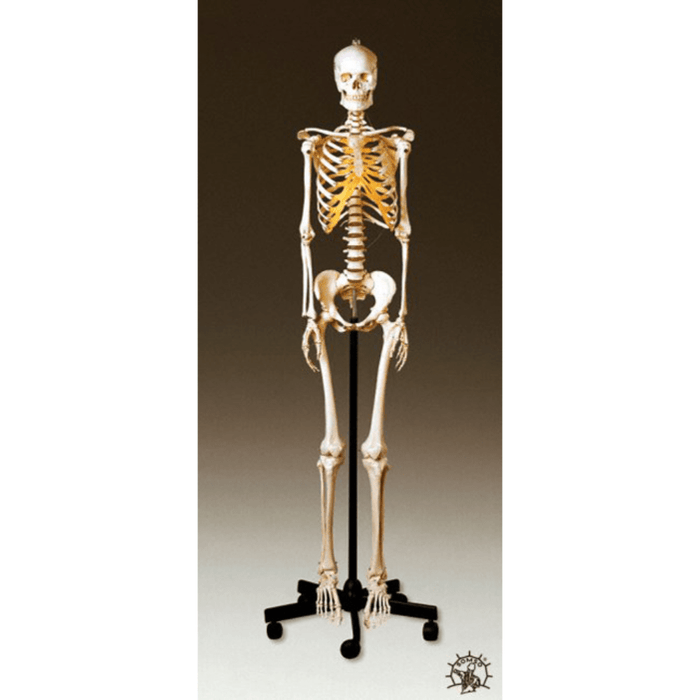 Somso Modelle GmbH Model Adult Female Skeleton