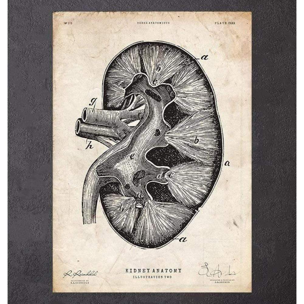 Codex Anatomicus Anatomical Print A5 Size (14.8 x 21 cm) Kidney Anatomy II