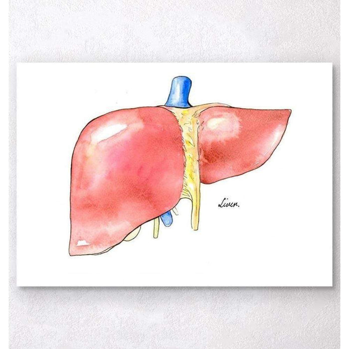 Codex Anatomicus Anatomical Print A5 Size (14.8 x 21 cm) Liver Anatomy Watercolor