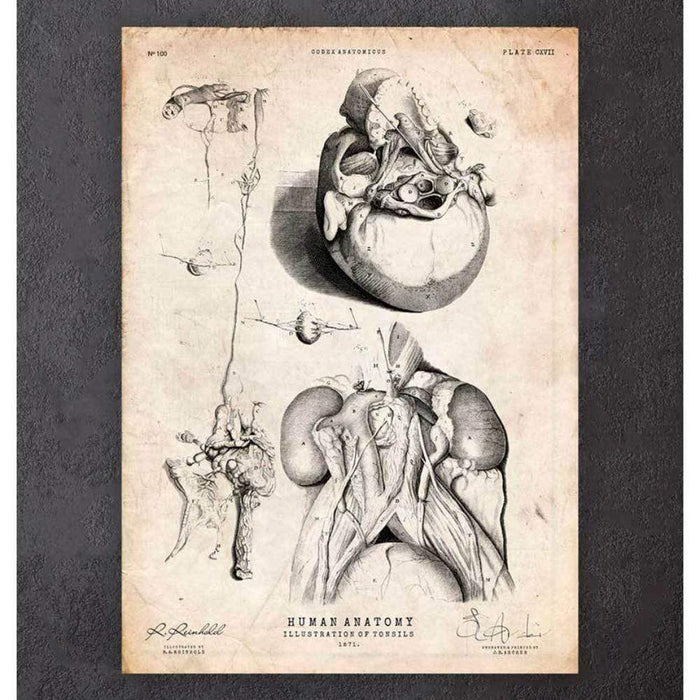 Codex Anatomicus Anatomical Print A5 Size (14.8 x 21 cm) Tonsils Anatomy Print