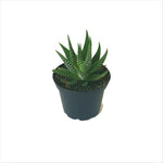 Single Haworthia succulent