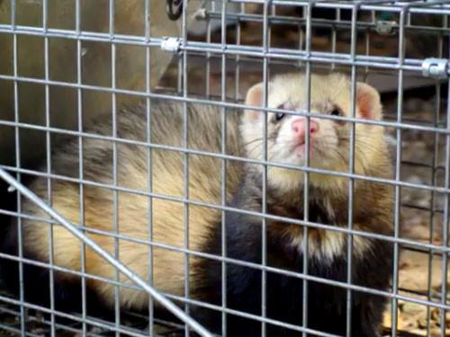 stoat caught in trap