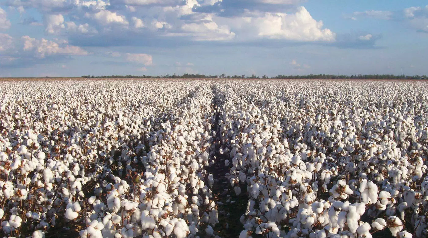 Cotton is a resource-intensive crop with a major role in the fashion industry