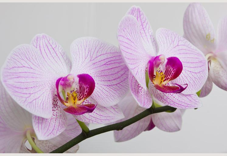 Wallpaper Flowers orchids SW092