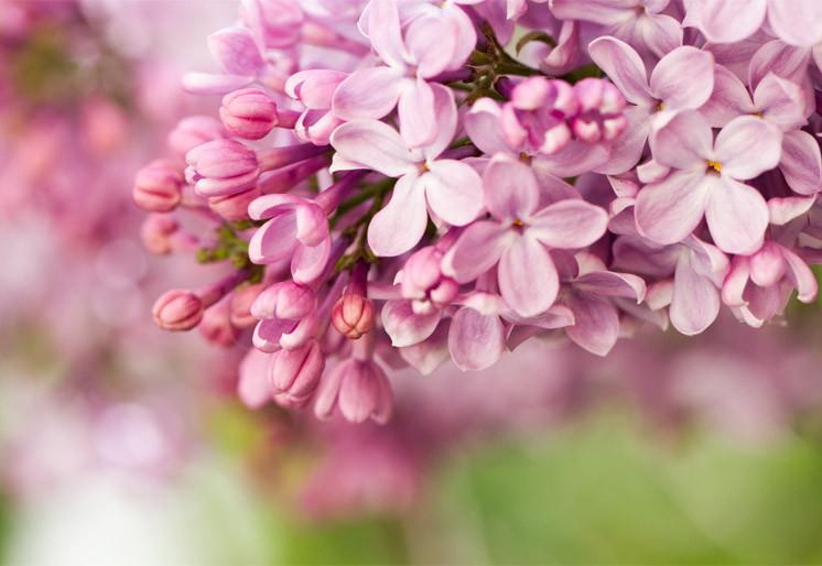 Wallpaper Lilac flowers SW271