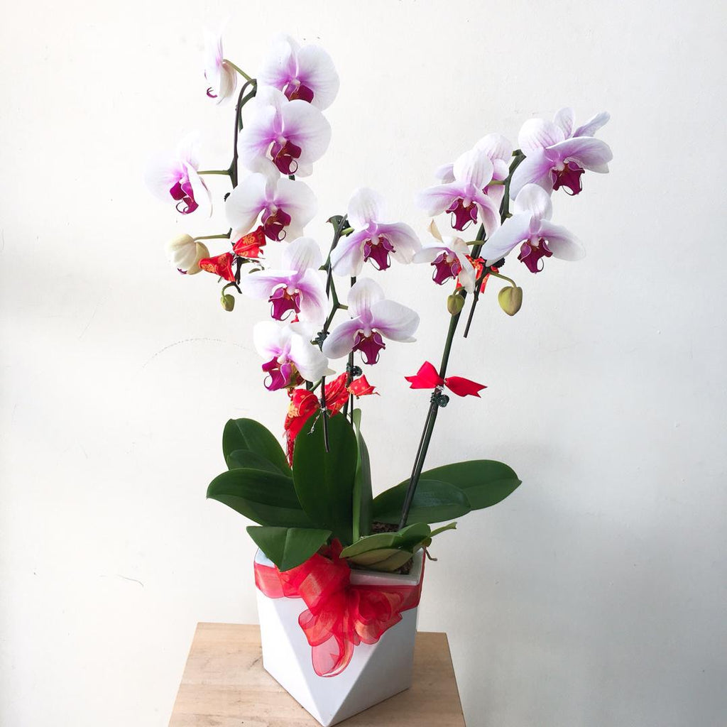 3 stalks 3.5inches Phalaenopsis Orchids