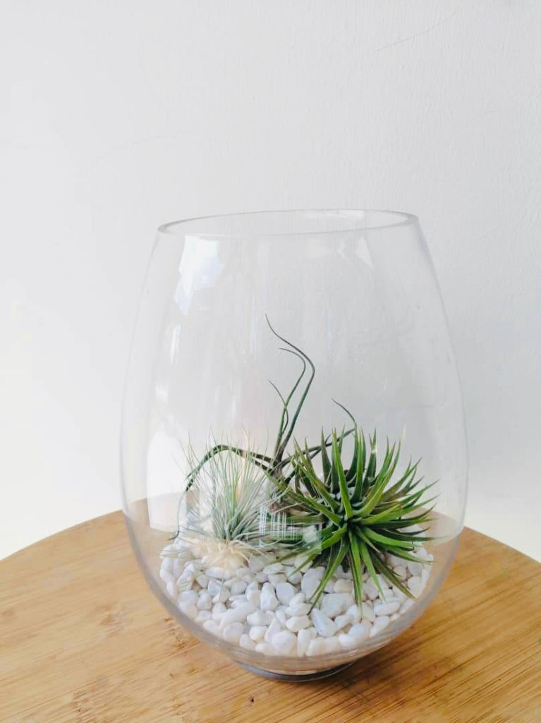 Terrarium Air Plant Arrangement
