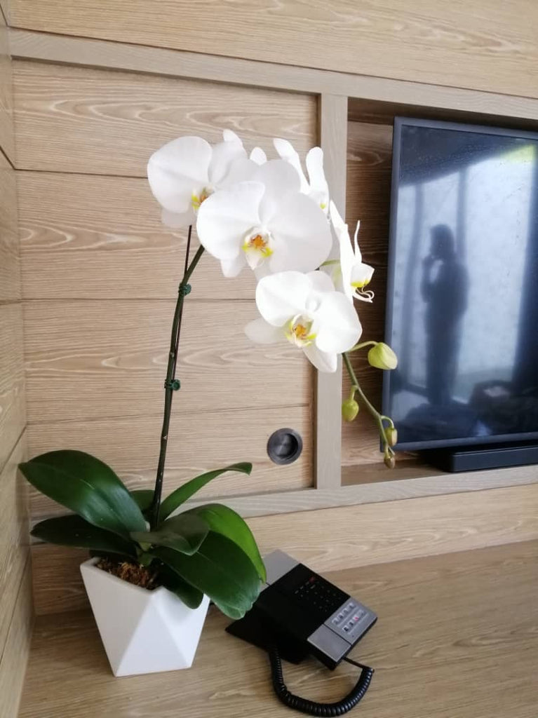 Phalaenopsis Orchids Arrangement