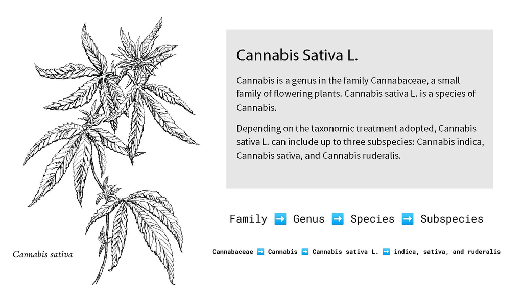 cannabis sativa taxonomy