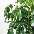 Large Umbrella Tree with Basket