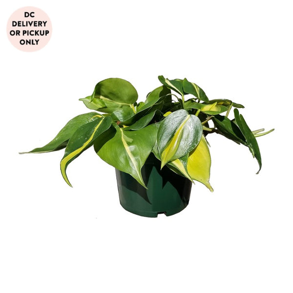 Philodendron Brasil Plant