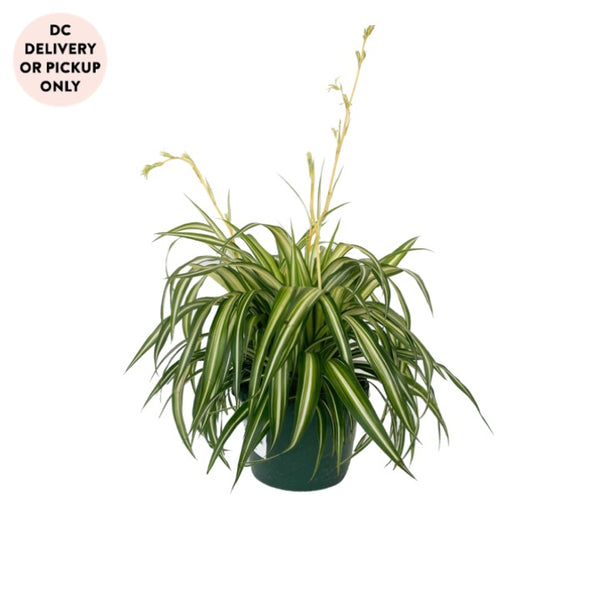 Reverse Variegated Spider Plant